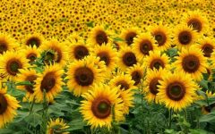 12 Proven Health Benefits of Sunflower