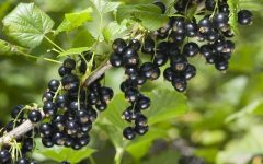 10 Proven Health Benefits of Blackcurrant