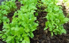 23 Proven Health Benefits of Cilantro
