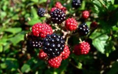 12 Proven Health Benefits of Blackberry