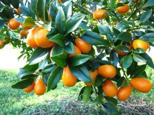 Kumquats benefits