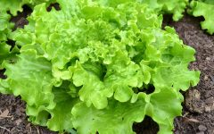 30 Proven Health Benefits of Lettuce