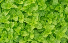 14 Proven Health Benefits of Mint