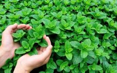15 Proven Health Benefits of Mint