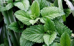 10 Proven Health Benefits of Peppermint