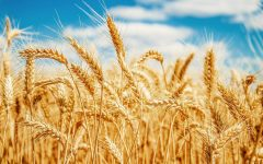 17 Proven Health Benefits of Wheat
