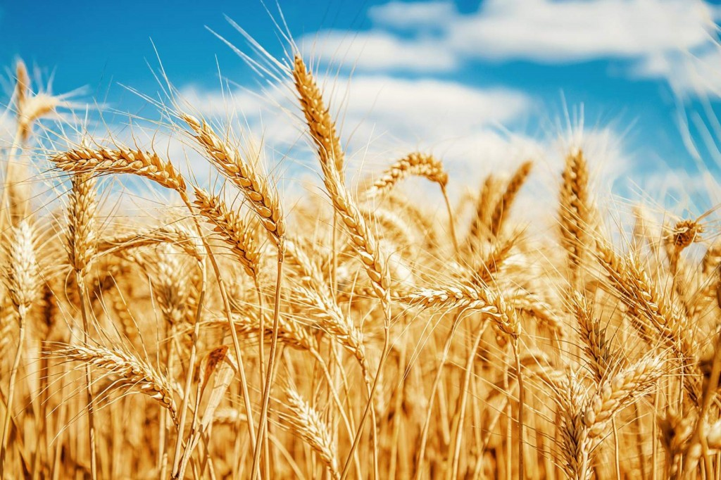 Wheat Benefits