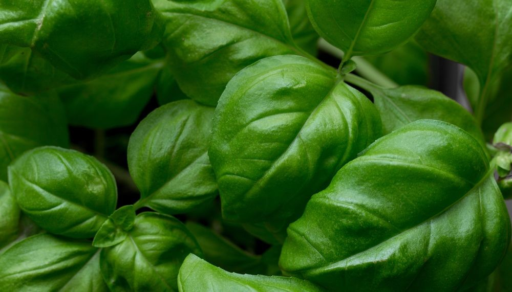 Benefits - Basil