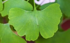 26 Proven Health Benefits of Ginkgo Biloba