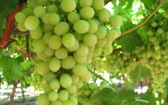 30 Proven Health Benefits of Green Grape