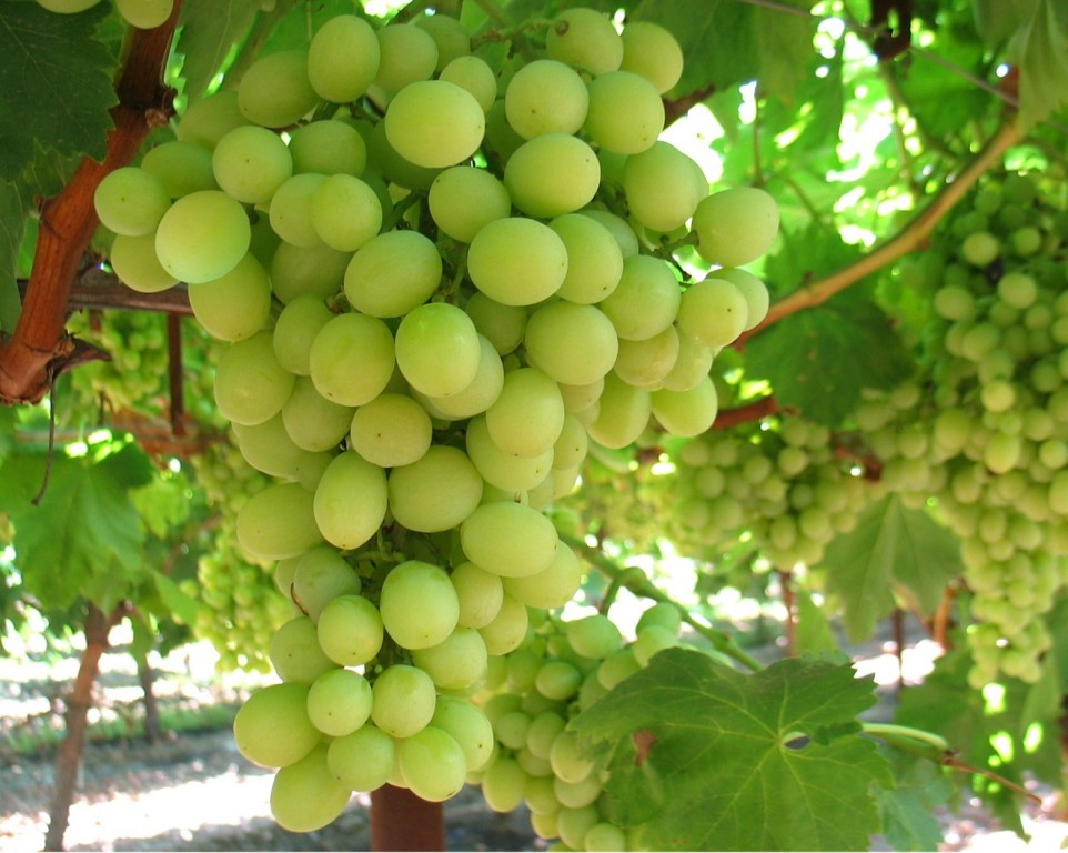 benefits green grape