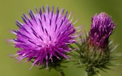 10 Proven Health Benefits of Burdock