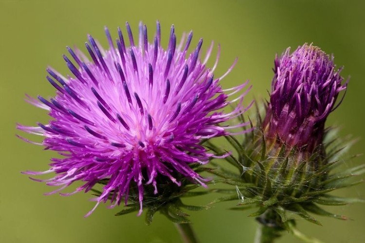 benefits of burdock
