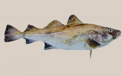 15 Proven Health Benefits of Cod