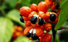 24 Proven Health Benefits of Guarana