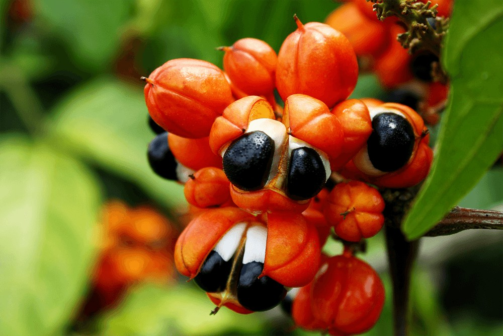 benefits of guarana