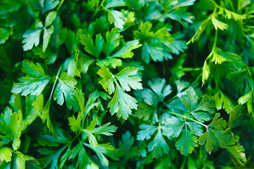 benefits Parsley