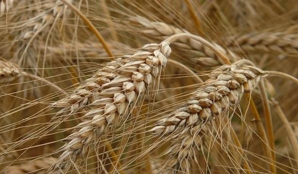 benefits of rye