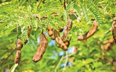 15 Proven Health Benefits of Tamarind