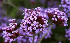 12 Proven Health Benefits of Verbena