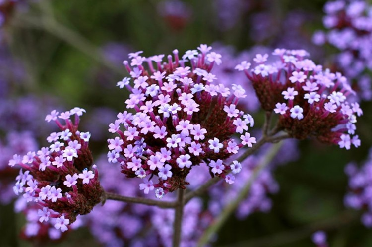 benefits of verbena