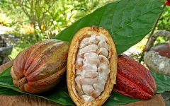 32 Benefits of Cocou for health