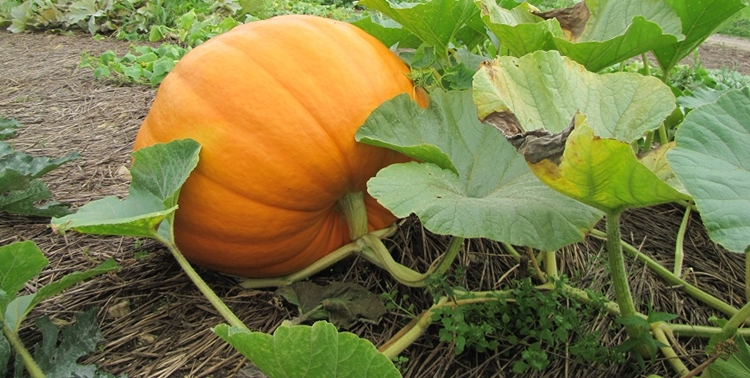 10 Benefits of Pumpkins Health