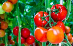 35 Proven Health Benefits of Tomato